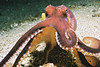 Octopus and cuttlefish. Lembeh Strait (Indonesia), October 2006 :