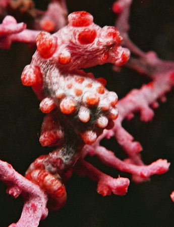 Pygmy seahorses. Lembeh Strait (Indonesia), October 2006