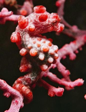 Pygmy seahorses. Lembeh Strait (Indonesia), October 2006